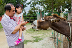 Asiatisk liten kinesisk flicka och hennes matande åsnaintelligens för farfar fotografering för bildbyråer