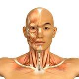 asiatisk manlig för framsida- och halsmuskler för modell 3d anatomi vektor illustrationer