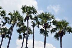 Asiatisk Palmyrapalmträd, Toddypalmträd, sockerpalmträd Royaltyfria Bilder
