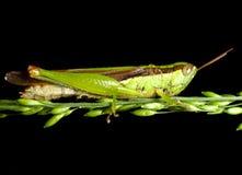 Asiatisk risgräshoppa Royaltyfri Foto