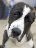 asiatisk SAD sheepdog royaltyfri bild