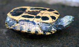 Asiatisk skogsköldpadda arkivbild