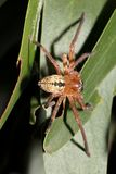 Asiatisk spindel royaltyfri foto