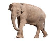 asiatisk stor elefant Arkivfoto