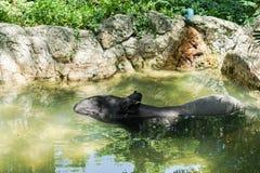 Asiatisk tapir i dammet i zoo royaltyfria bilder