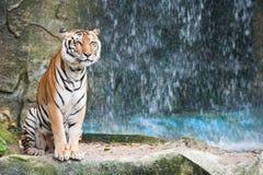 asiatisk tiger Arkivbild
