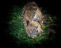 Asiatisk tiger i zoo Arkivfoto