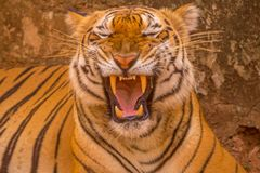 Asiatisk tiger på dess bästa, medan gäspa Arkivfoton