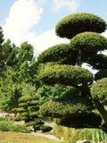 asiatisk tree Royaltyfri Foto