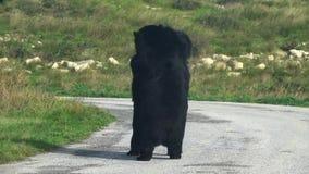 Asiatisk ursusthibetanus för svart björn som två spelar att brottas arkivfilmer