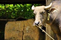 Asiatisk vattenbuffel Royaltyfria Bilder