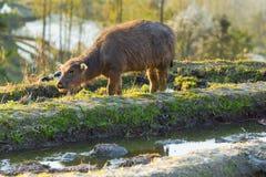 Asiatisk vattenbuffel på risfält av terrasser Arkivbild
