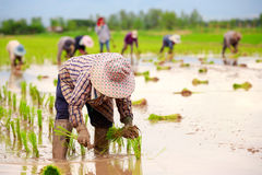 Asiatiska bönder Arkivbild