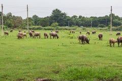 Asiatiska bufflar Royaltyfri Fotografi