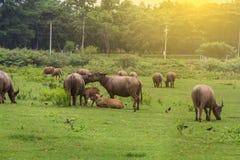 Asiatiska bufflar Arkivbilder