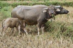 Asiatiska bufflar i en risfält Arkivbilder