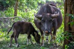Asiatiska bufflar i ett fält av bygd för norr Vietnam arkivfoton