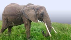 Asiatiska elefanter är de största bosatta landdjuren i Asien Asiatiska elefanter är högt intelligenta och själv-medvetna Royaltyfria Foton