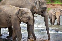 asiatiska elefanter arkivbilder