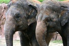 asiatiska elefanter Arkivbild