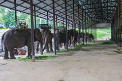 asiatiska elefanter Chang Thailand Elephant Conservation Center i T Royaltyfria Foton