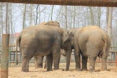 Asiatiska elefanter (Elephasmaximusen) - enig familj Royaltyfria Bilder
