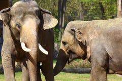 Asiatiska elefanter i den Prague zoo arkivbild