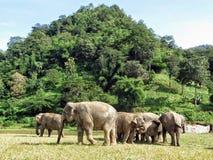 Asiatiska elefanter samlar tillsammans på elefanten som naturen parkerar i nordliga Thailand Arkivbild