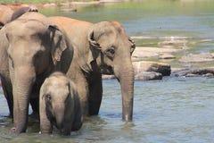 Asiatiska elefanter som badar i floden Sri Lanka Arkivfoto