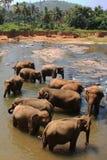 Asiatiska elefanter som badar i floden Sri Lanka Royaltyfria Bilder