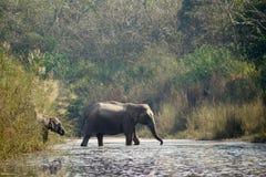 Asiatiska elefanter som korsar den Karnali floden, Bardia, Nepal Royaltyfri Fotografi