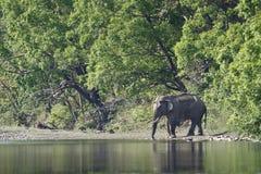 Asiatiska elefanter som korsar den Karnali floden, Bardia, Nepal Arkivfoton