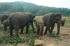 Asiatiska elefanter, Sri Lanka Arkivbild