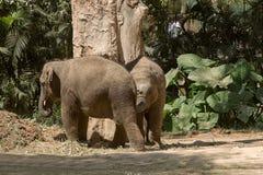 Asiatiska elelphants Royaltyfri Bild