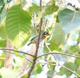 Asiatiska fåglar Fotografering för Bildbyråer
