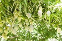 Asiatiska fruktindiermango Arkivbilder