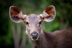 Asiatiska kvinnliga hjortar i skogen Royaltyfri Foto