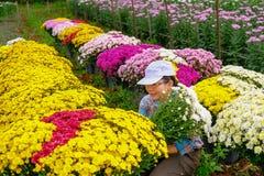 Asiatiska kvinnor kontrollerar villkor av krysantemumträdgårdblommor som är kvalitets- med den nya exporten royaltyfri fotografi