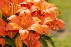 Asiatiska Lillies i blom Arkivbild