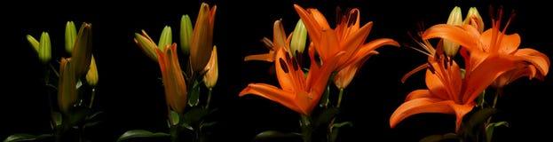 Asiatiska Lily Flower Series Arkivfoto