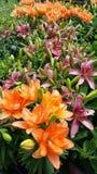Asiatiska Lilys Arkivbilder
