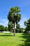 asiatiska palmträd Arkivbilder