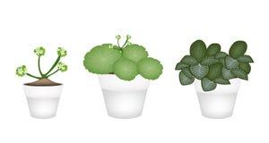 Asiatiska Pennywort och Acanthaceae i keramiska krukor Royaltyfri Foto