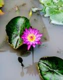 Asiatiska rosa Lotus Flowers i dammet på lotusblommabladet Fotografering för Bildbyråer