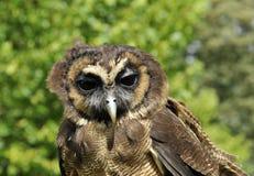 asiatiskt brunt owlträ Arkivfoto