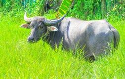 Asiatiskt buffelanseende och se kameran på grön bakgrund för fältgräsnatur royaltyfria foton