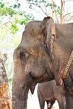 asiatiskt elefanthuvud arkivfoto