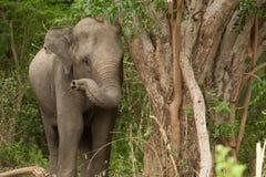 asiatiskt elefantskogbarn Arkivfoton