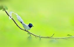 asiatiskt flycatcherparadis Royaltyfri Bild