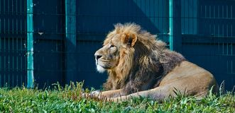 Asiatiskt lägga för lejon Arkivbild